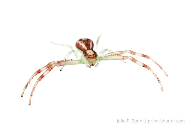 Crab spider (Misumenops species) Sorocaba, SP, Brazil August 2012 Urban