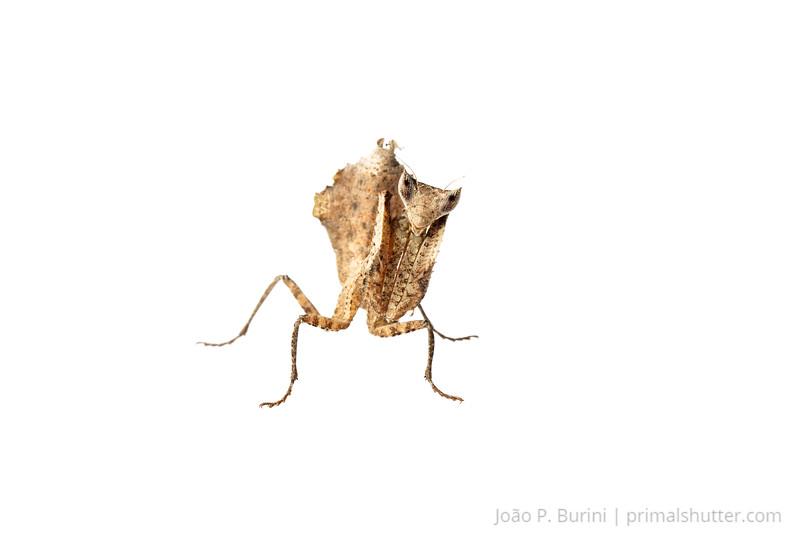 Leaf mantis (Acanthopidae) Piedade, SP, Brazil Atlantic forest August 2013