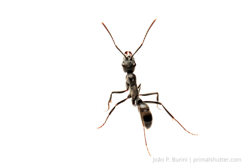 Predator ant (Pachycondila verenae)Piedade, SP, BrazilAugust 2012Tropical rainforest