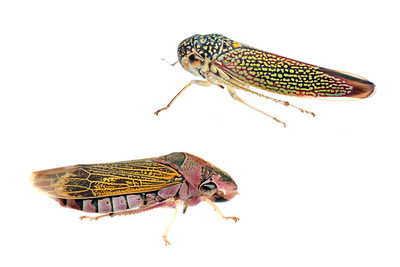 Cicadellidae leafhopper and sharpshooter (top: Macugonalia cavifrons; bottom: Oncometopia facialis) Sorocaba, SP, Brazil August 2012 Urban