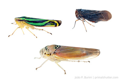 Leaf hoppers (left: Sibovia sagata; bottom: Cicadellidae sp.; right: Derbidae sp.) Sorocaba, SP, Brazil August 2012 Urban