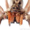 Wolf spider (Lycosa erythrognatha)<br /> Sorocaba, SP, Brazil<br /> Urban<br /> August 2012