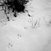 Snowshoe rabbit tracks