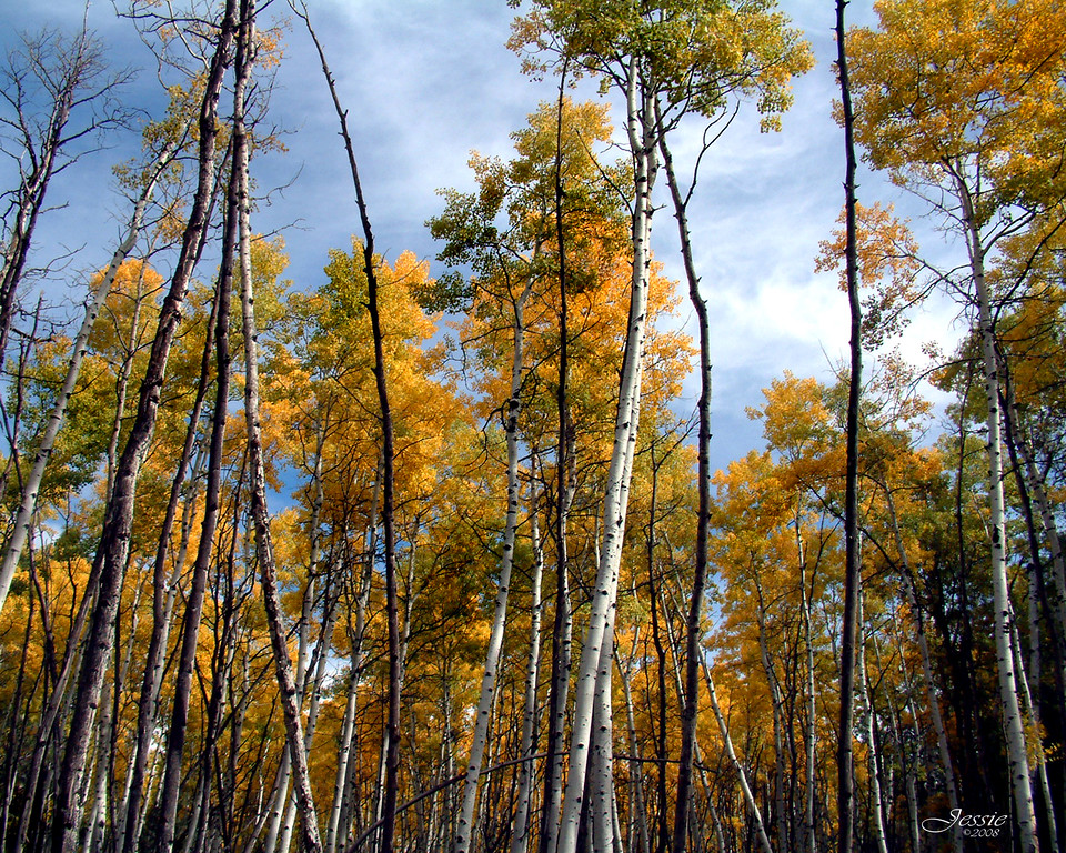 Fall Color - Aspen grove at Moqui Group Campground, Happy Jack, Az.<br /> ORDER #210124