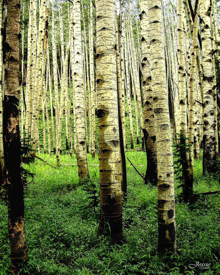 Quaking Aspen grove near Inner Basin Trail, Flagstaff, Arizona<br /> Order #87196
