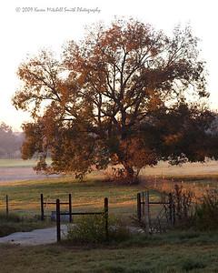 Wm Pecan Tree