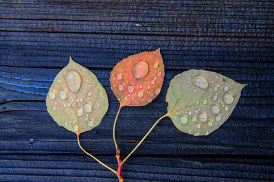 Three Aspen Leaves