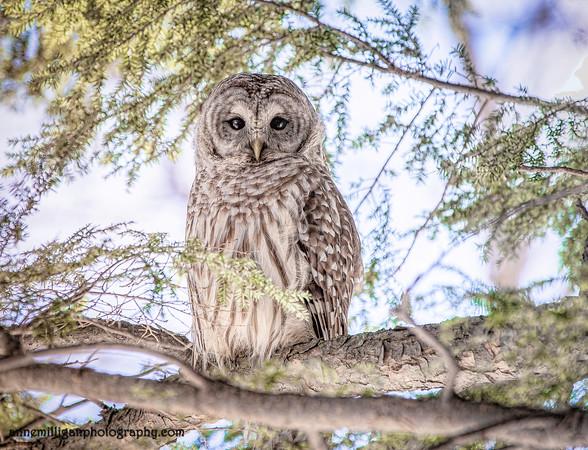 Hodor - Our resident bard owl