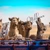 Camels, Sahara Desert, Egypt