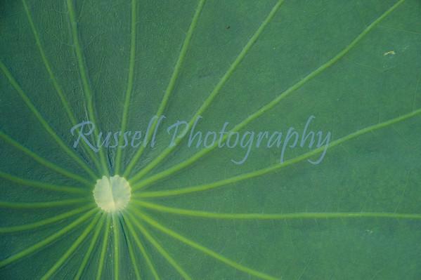 """Lotus Flower Leaf   """"Sunshine"""""""