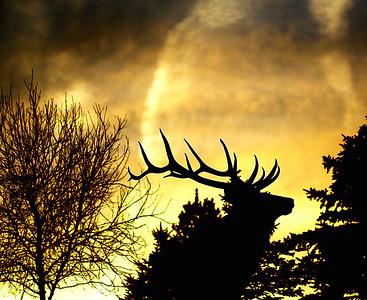 Lone Elk in Autumn