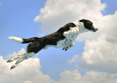 'When Dogs Can Fly' Selected finalist in the 2010 juried photo competition 'RMG Exposed' at the Robert Mclaughlin Gallery in Oshawa Ont, Canada. http://picasaweb.google.com/100903700079429425812/RMGExposedJuriedExhibitionFinalists?feat=directlink#  Selected finalist in the 2010 Juried Art Show at the Uxbridge Celebration of the Arts.