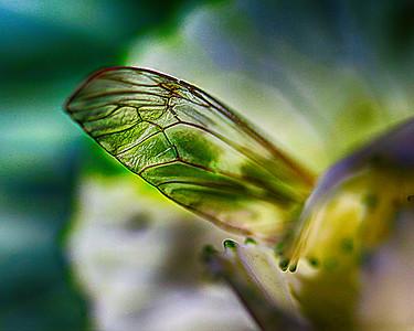 Fairy's Wing