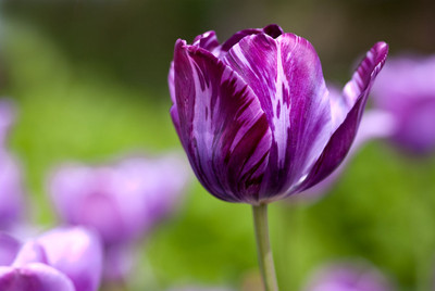 Tulip Purple High