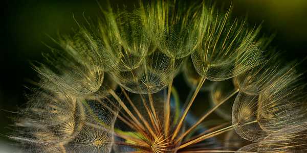Dandelion at Dusk