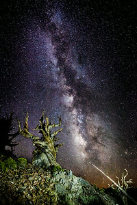 Deep Space Bristlecone Pine
