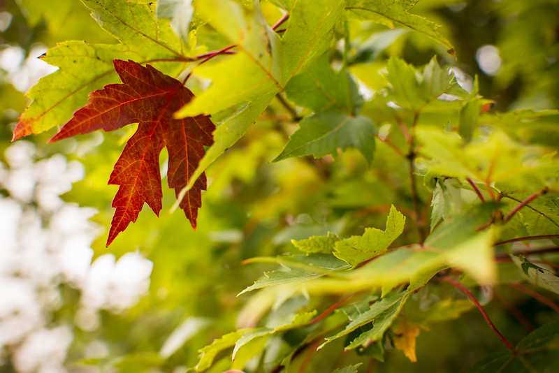 24/365 - One red leaf