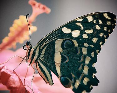 Butterfly, Pink Flower