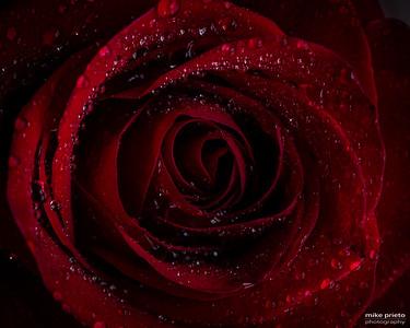 Valentines Series:  Wet Rose