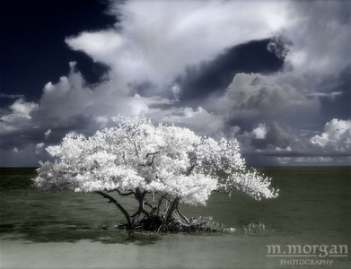 S155-2-11c Key Largo Tree colorized