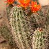 Orange Cacti
