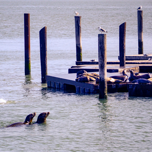 California sea lions along the pier
