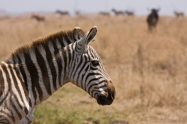Nairobi National Park, Kenya. September 2009