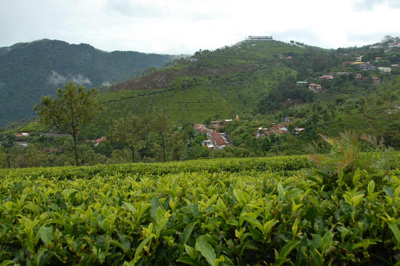 Green carpeted tea gardens near Ooty (Udagamandalam), July 2007.
