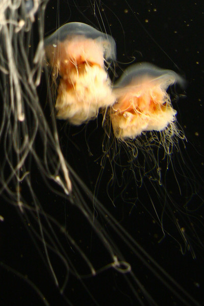Jelly fish, Monterey Bay Aquarium, CA