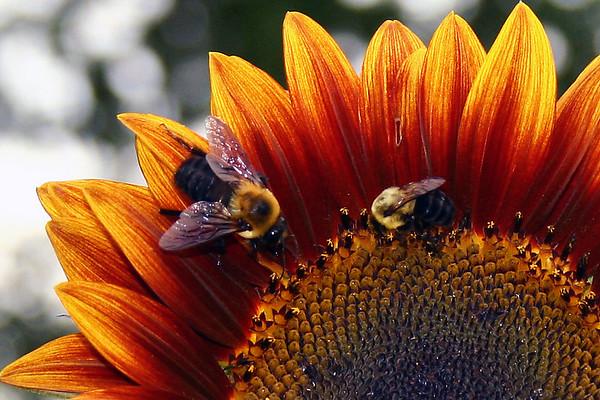 Sunflowers, Arlington, VA