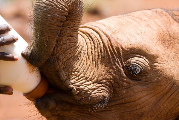 Elephant Orphanage, Nairobi, Kenya. September 2009