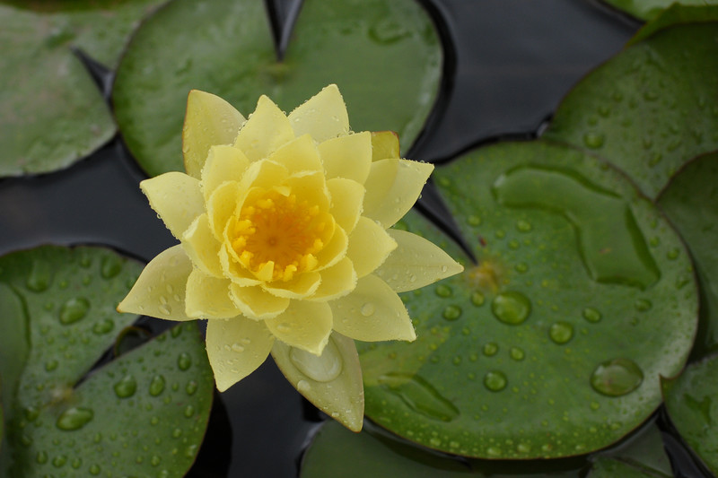 Top view of a water lilly at Chinmaya Mission's Chinmaya Vibhoothi Vision Centre, in Kolwan (near Lonavala/Pune), Maharashtra, India.