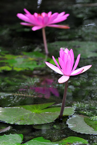 Water lillies at the ashram. Chennai, India around Pongal Jan 2008