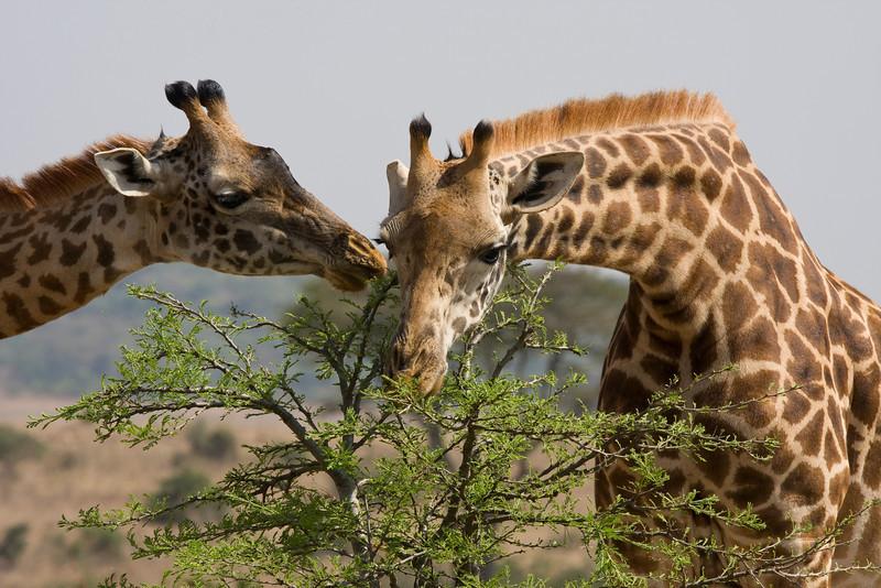 Giraffes, Nairobi National Park, Kenya. September 2009.