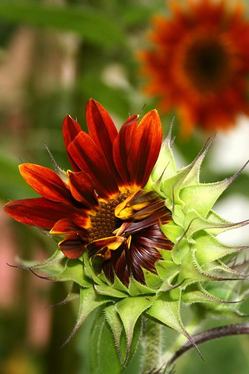 Sunflowers, Arlington VA