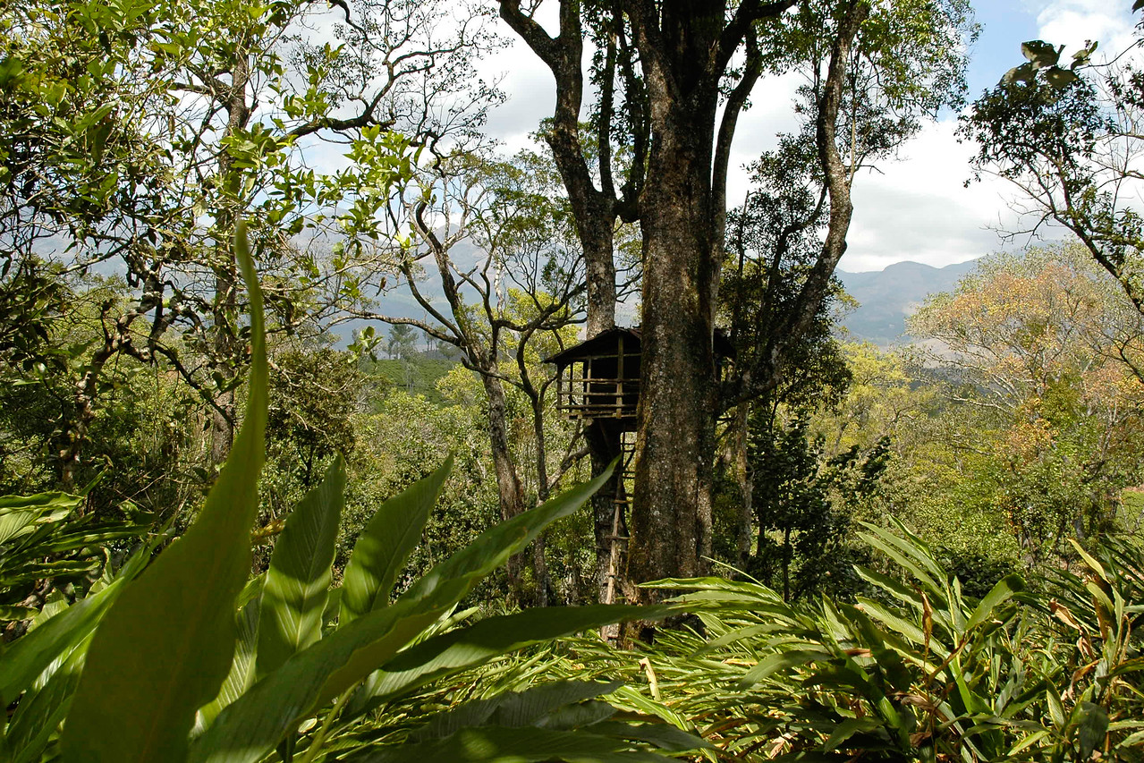 Tree house in the jungle at Munnar, Kerala. Munnar is a town located in Idukki District of  Kerala (located in the southern Western Ghats). The area is surrounded by vast jungles and is 1600 m (5400 ft) above sea level. There are three rivers - Madupetti, Nallathanni and Periavaru which flow through this town.