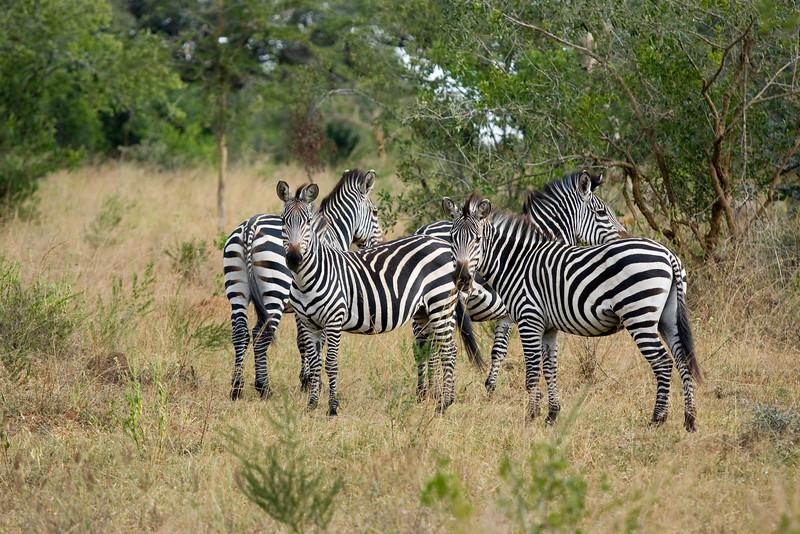 Zebras, Lake Mburo, Uganda