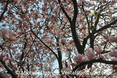 Multiple Magnolia Blossoms Wave of Pink