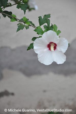 White Hibiscus, Trastevere, Rome, Italy