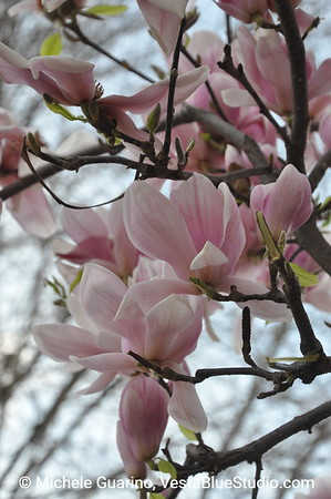 Magnolia Blossoms Spring in Florence