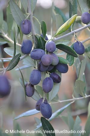 Toscana Olives