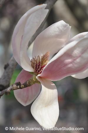 Magnolia Blossom Budding