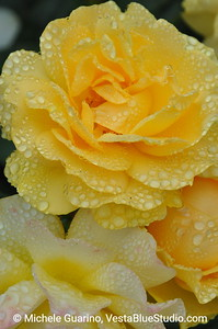 Julia Child Rose, Portland Rose Garden