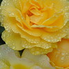 Julia Child Rose, Portland Rose Garden