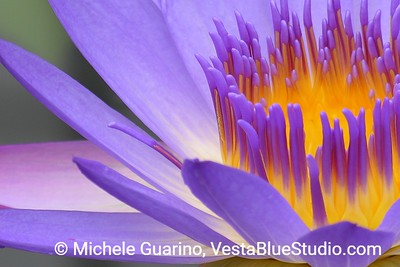 Vesta Blue Water Lily