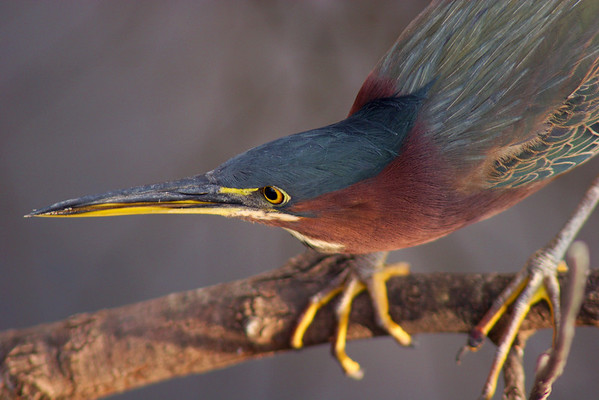 Green Heron on a branch, intensely focussed on his prey, Everglades National Park Florida, USA.