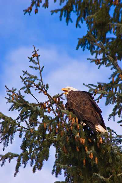 Mature Bald Eagle with mouth open screeching a warning to his friends. Brackendale, BC Canada