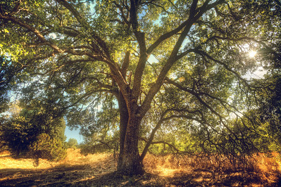The MightyAuburn, CA  I am here; well before you arrive, long after you are gone. I support the earth; it exists around me. I hold back the sun and it does not burn me. I am many hundreds to your so very few years. I welcome you openly to share in my protection and in my wisdom, if you wish it to be so.  I am... The Mighty.    ©Karen Hutton - Creative Commons (CC BY-NC 3.0)