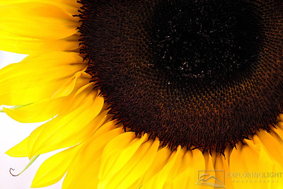 """SUNFLOWER MACRO""© Chris Moore - Exploring Light PhotographyPURCHASE A PRINT"