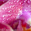 Orkide macro